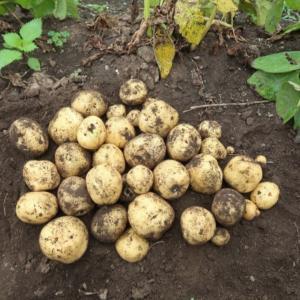 今季は大豊作!ジャガイモ最終収穫♪