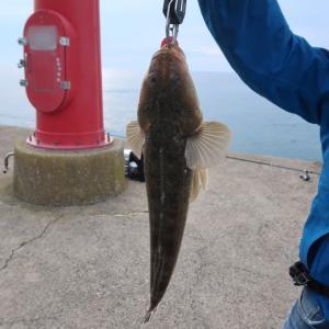 釣ってきたマゴチ、シロギス、真鯛で♪