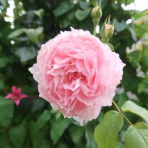 薔薇の2番花、ベルガモット、もろこし