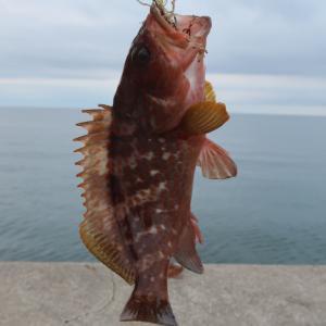 能登の魚は美味しい!初の自釣りキジハタ調理