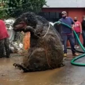メキシコ・シティーで発見された巨大ネズミの真実
