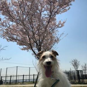 この春もこの先の桜も