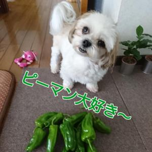 やちゃい(野菜)がこいちくなりまちた(>_<)