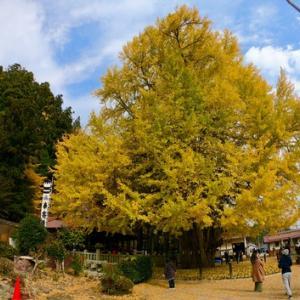 天を突く巨木が黄色く染まる 筒賀の大銀杏