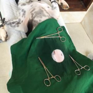 バリ島より愛犬ヒロコちゃんの避妊手術を無事に行いました。