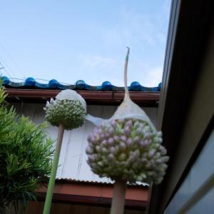 進化だ!ニンニクの花。