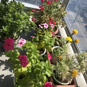 10月になってもまだ暑いですね。我がベランダの花