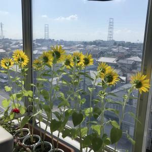 猛暑で向日葵満開(ベランダの)