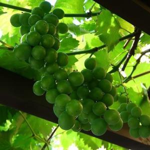 我が家の葡萄