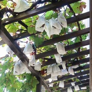 その後の我が家の葡萄