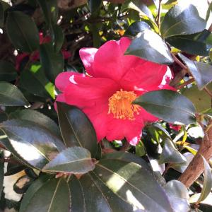 隣の山茶花。綺麗なんだけど。