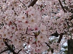 4月の始まりは満開の桜♪