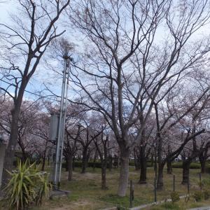 花園中央公園 桜開花速報 2019