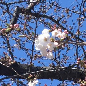 ◆葉山でお花見