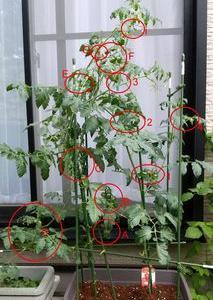 2021年トマト54日目 リン酸カルシウム施肥