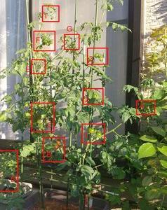 2021年トマト62日目 「ミニキャロル果実Bは、かなり赤くなり、もう一息。」