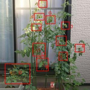 2021年トマト63日目 「レッドオーレ果実4の枝、骨折」