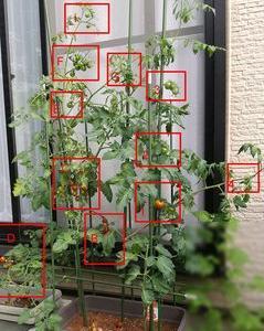 2021年トマト64日目 「一部はもうすぐ収穫ですが、青い果実が多すぎます。」