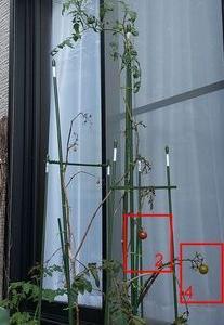 2021年トマト122日目 「残るレッドオーレ果実のうち、1つを明日収穫します。」