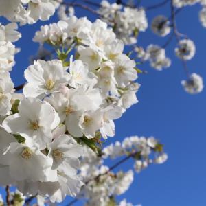 桜咲く、お花見散策2020・その1|コロナショック。ブログでは備忘録を兼ねて色々なことを綴ってき