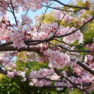 桜咲く、お花見散策2020・その2|コロナショック、エアーお花見でほんの少し心和んで。