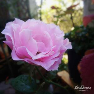夏剪定してないバラと揚羽蝶の幼虫