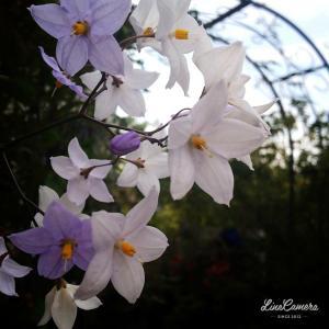 いつも通りに咲いたツルハナナスとカラフルなコリウス