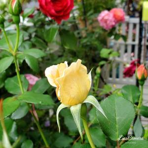 個性豊かなダーリンのバラ三種