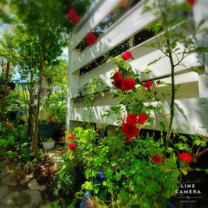 樹勢の強い小輪のつるバラはコンテナ栽培や半日陰なら暴走しない!