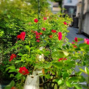 エネルギーを必要とする赤バラも育てやすい品種なら大丈夫!