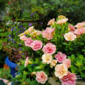 今年は小輪なお花がマイブーム。ティフォシーダブルのピーチイエローに一目惚れ!