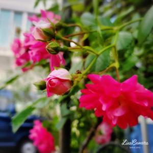 遅咲きスーパードロシー満開とダーリンのつるバラ、植え替え終了