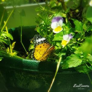 ぽんぽん咲くペチュニアと西洋ニンジンボクの優しい色の花たち