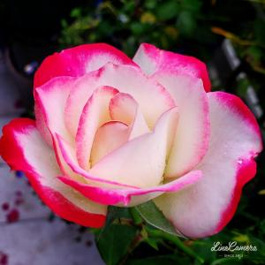 花よりだんご、バラより…
