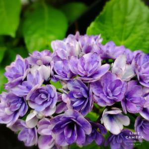 甘い香りの中、処分品のあじさいコンビが我が家で初の開花