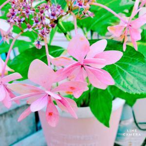 ピンクにブルー!花もち良くて梅雨の間はアジサイの天下!