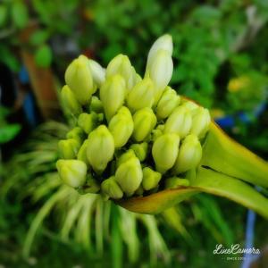 処分苗のアガパンサスが初めて咲きました!
