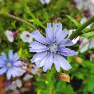 大好きなブルー系、ラベンダー色の花たち