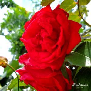 フロレンティーナは1番花だけど他は2番花