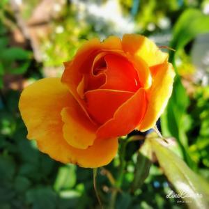 暑い日差しに負けないオレンジ色の花たち