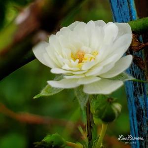 鉢植えのバラの暑さ対策とかアイボリーな夢乙女の事とか