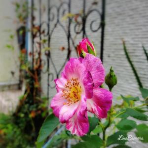 小さな庭でピンク色のバラがよく咲いてます