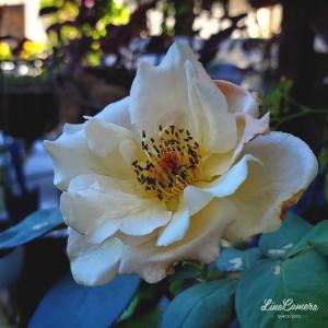 立秋過ぎてからバラが元気を取り戻してきました