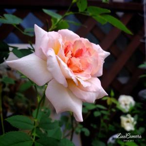 並んで競うように咲くアムールドゥランジュとボルデュールアブリコ