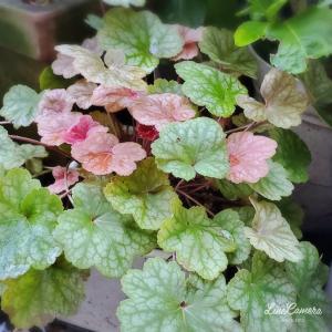 初めて咲いたサルビアレウカンサフェアリーピンク