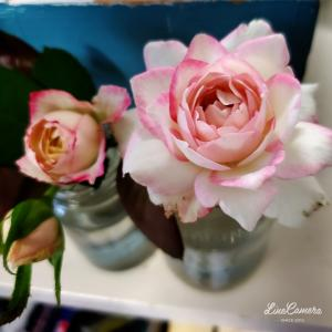 バラの花びらが濃くなって秋を感じます