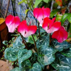 東向の花壇にグラデーションがきれいなガーデンシクラメン追加