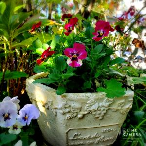 今年の小さな庭、パンジーよりビオラが圧倒的に多いさみしい理由