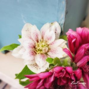原種のクリスマスローズとシモツケホワイトゴールドのまぶしい新芽