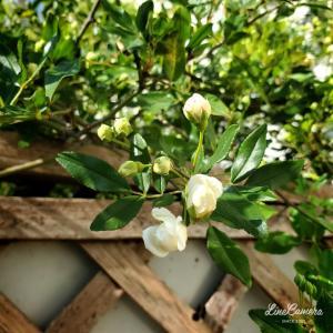 今年は期待が大きい八重咲きの白モッコウバラ